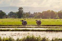 Thai water buffaloes Royalty Free Stock Photos