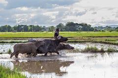 Thai water buffaloes Stock Photo