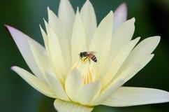 Thai water lily stock photos