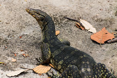 Thai Water monitor in Chiangmai Zoo , Thailand Stock Image