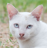 Thai white cat Royalty Free Stock Photo