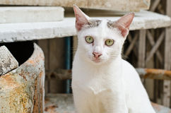 Thai white cat Stock Images