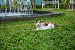 White cat on Manila Grass in park. Thai white cat on the green glass floor and background soft focus fountain stock photography