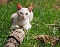 Thai white cat Stock Photos
