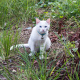 Thai white cat sitting staring from grass. Thai white cat, blue eyes are watching something hesitantly wondering play in the grass Stock Image