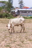 thai white cow in field Stock Image
