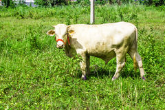 Thai white cow on grass field and looking this way. Many useful animals.  stock photo