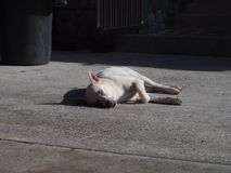 White Dog Sleeping on concrete floor To receive the warmth of the morning sun of the day royalty free stock photo