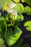 thai white för härlig ny lotusblomma Royaltyfri Fotografi