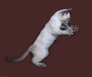 Thai white kitten playing on brown. Background Stock Photography