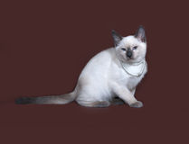 Thai white kitten sitting on brown. Background Royalty Free Stock Photos
