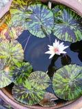 Thai white Lotus stock photo