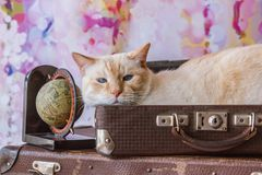 Thai cat with blue eyes sits inside vintage suitcases Stock Photos