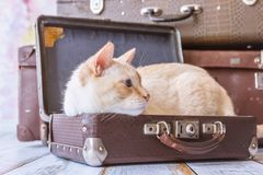 Thai cat with blue eyes sits near vintage suitcases pyramid clos. Thai white with red marks cat with blue eyes sits inside vintage suitcases on a pink background Stock Image