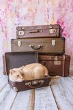 Thai cat with blue eyes sits near vintage suitcases pyramid. Thai white with red marks cat with blue eyes sits inside vintage suitcases on a pink background Royalty Free Stock Photography