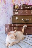 Thai cat with blue eyes sits near vintage suitcases Royalty Free Stock Image