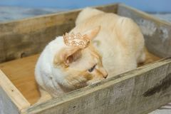 Thai cat wearing crown sits in wooden box. Thai white with red marks cat with blue eyes wearing golden crown on his head sits in wooden box close-up shallow Stock Image