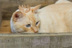 Thai cat wearing crown sits in wooden box. Thai white with red marks cat with blue eyes wearing golden crown on his head sits in wooden box close-up shallow Royalty Free Stock Image