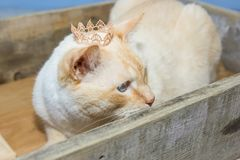 Thai cat wearing crown sits in wooden box. Thai white with red marks cat with blue eyes wearing golden crown on his head sits in wooden box close-up shallow Stock Images