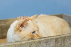 Thai cat wearing crown sits in wooden box. Thai white with red marks cat with blue eyes wearing golden crown on his head sits in wooden box close-up shallow Royalty Free Stock Images