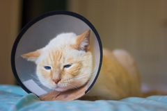 Thai white with red marks cat wearing cone on collar. Thai white with red marks cat with blue eyes cat wearing plastic medical protective cone on collar. Lying royalty free stock images
