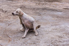 Thai white stray dog Royalty Free Stock Photography