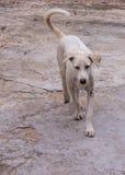 Thai white stray dog Royalty Free Stock Photos