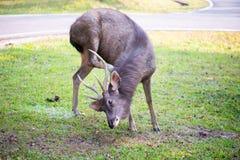 Thai Wild Deer. Wild Deer in the garden royalty free stock photography