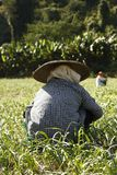 Thai woman bent over planting and picking on a local farm stock photography