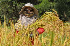 Thai woman farmer in the paddy rice field Royalty Free Stock Photography