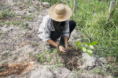 Thai woman planting tree and growing vegetable drop in hole at g Royalty Free Stock Photo