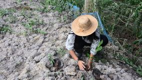 Thai woman planting tree and growing vegetable drop in hole at garden stock video footage