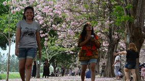 Thai woman playing and throwing flower fall on ground of Tabebuia rosea or rosy trumpet tree at garden stock footage