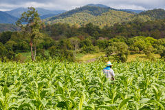 Thai woman put Insecticide and fertilizer in tobacco plant Royalty Free Stock Photos