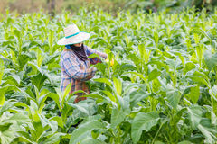 Thai woman put Insecticide and fertilizer in tobacco plant Stock Images