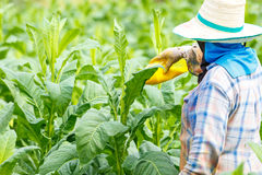 Thai woman put Insecticide and fertilizer in tobacco plant Royalty Free Stock Photo