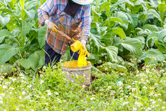 Thai woman put Insecticide and fertilizer in tobacco plant Stock Photography