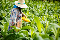 Thai woman put Insecticide and fertilizer in tobacco plant Stock Image