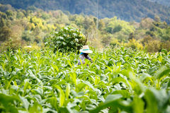 Thai woman put Insecticide and fertilizer in tobacco plant Royalty Free Stock Image