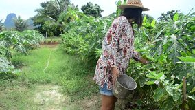 Thai women harvest agriculture yellow thai eggplant on tree