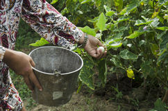 Thai women harvest agriculture yellow thai eggplant on tree Stock Images