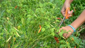 Thai women harvest chili at garden stock video