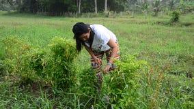Thai women harvest chili at garden in Phatthalung, Thailand. stock footage