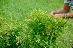 Thai women harvest chili Royalty Free Stock Photography
