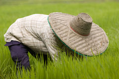 Thai women working in the rice field Royalty Free Stock Photo