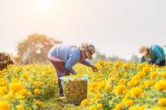 Thai worker or gardener keeping Marigold flower in field at nort Royalty Free Stock Photos