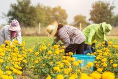 Thai worker or gardener keeping Marigold flower in field at nort Stock Image