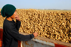 Thai worker pick up potatoes Royalty Free Stock Photos