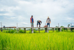Thai workers building concrete walkway in green rice field Stock Photos