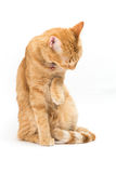 Thai yellow cat Stock Images